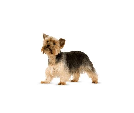 Terrier du Yorkshire