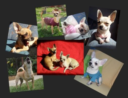 Elevage LOVELY GANGSTERS Chihuahua Kennel Hungary*