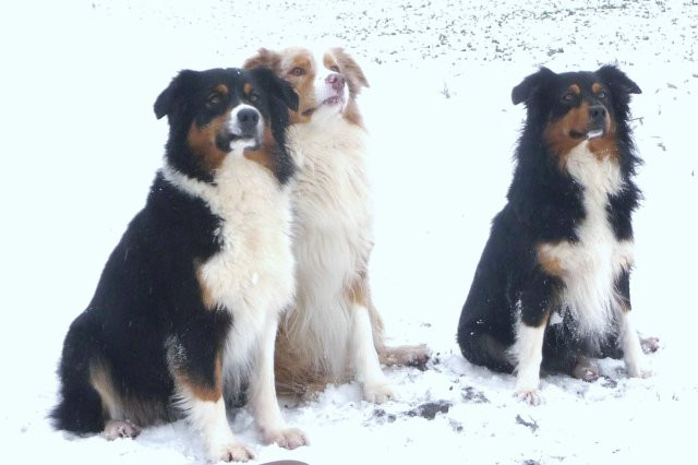 Blog SAINT REMY RANCH de Australian sheperds *