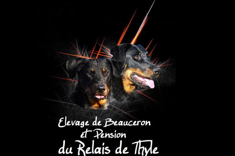 Elevage pension DU RELAIS DE THYLE Beauceron*