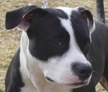 Elevage DOMAINE DE KHEOPS American Staffordshire Terrier *