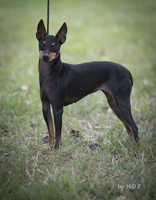 Élevage OF TALL AND SMALL  d'English Toy Terrier