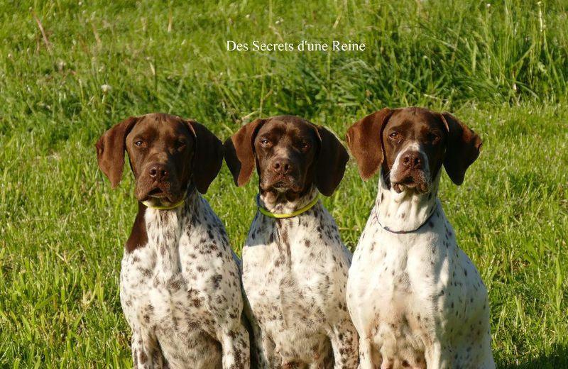 DES SECRETS D'UNE REINE eleveur de chiens Braque français *