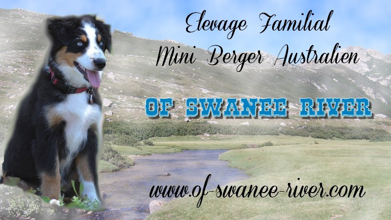 Elevage OF SWANEE RIVER mini Berger Australien *