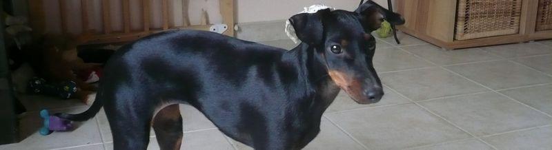 Elevage DE L ELITE NOIR ET FEU de Manchester Terrier*