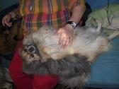 Elevage HOME ANIMALIER DU BOURSET chats Persan Epagneul du tibet *