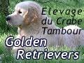 elevage DU CRABE TAMBOUR golden retriever*