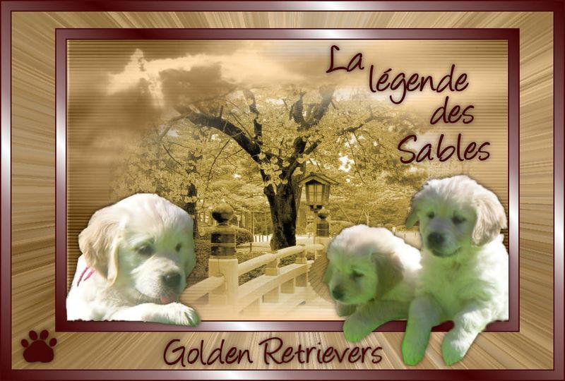 Elevage LA LEGENDE DES SABLES Golden Retriever*