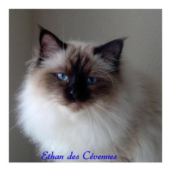 Chatterie EDEN BLUE Birman Maine Coon  £