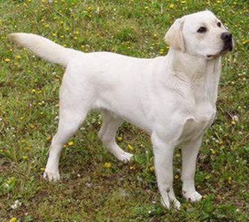 Elevage TOLNAI TOTH Labrador Kennel Hungaria*