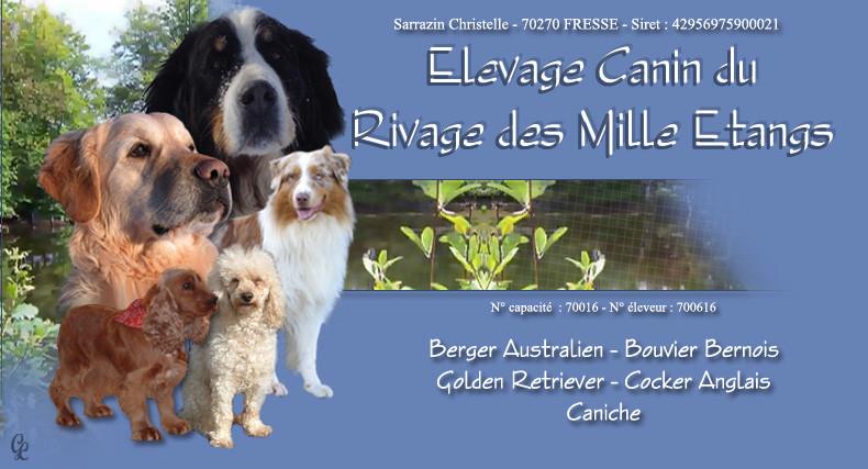 Elevage RIVAGE DES MILLE ETANGS Berger Australien, Bouvier Bernois, Golden Retriever*