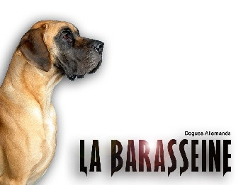 Elevage LA BARASSEINE Dogue allemand *
