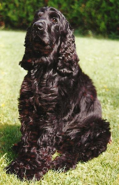 Eleveur DU PARADIS D'OLIVER Cockers Anglais Education canine