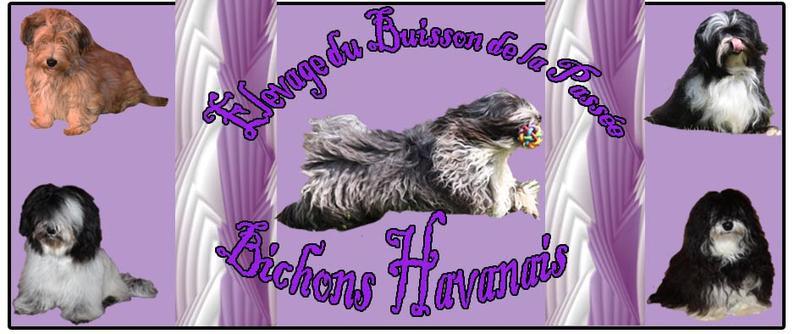 Elevage BUISSON DE LA PASSEE Bichon Havanais*