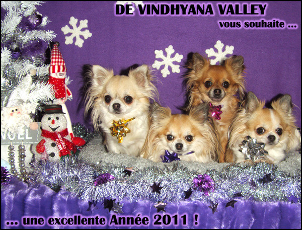 Elevage VINDHYANA VALLEY Spitz et Chihuahuas *