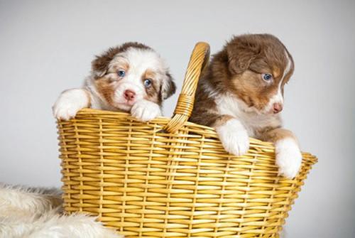 ELEVEUR de chiens de race
