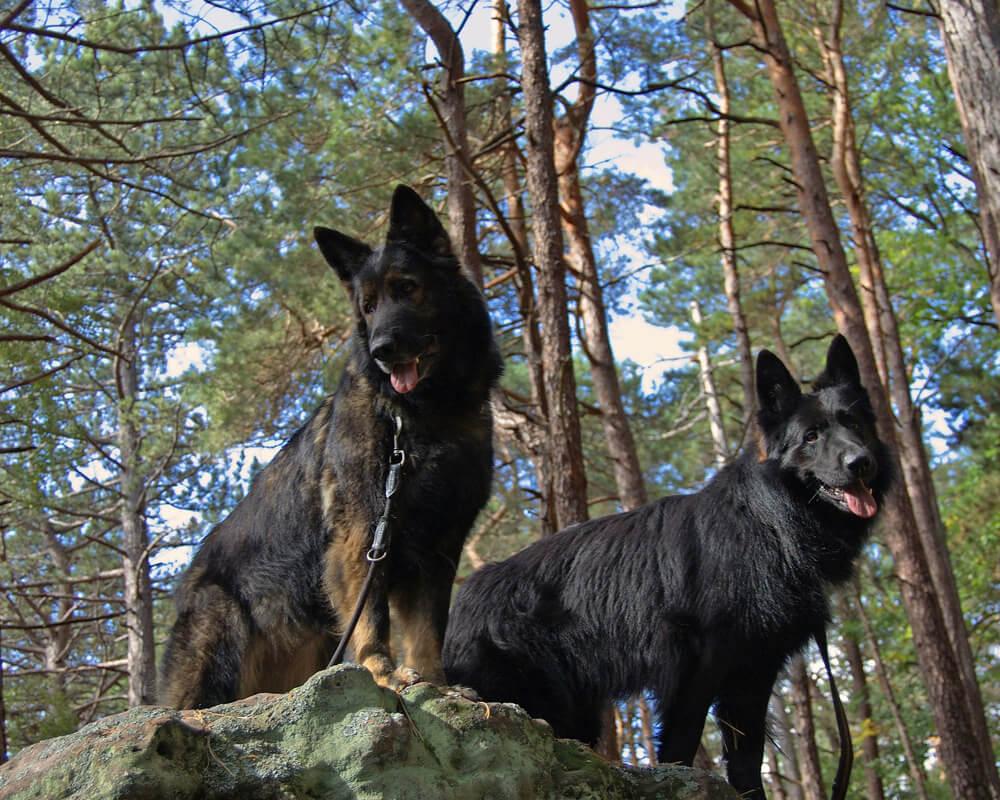 Promener son chien en groupe ou en solo ?