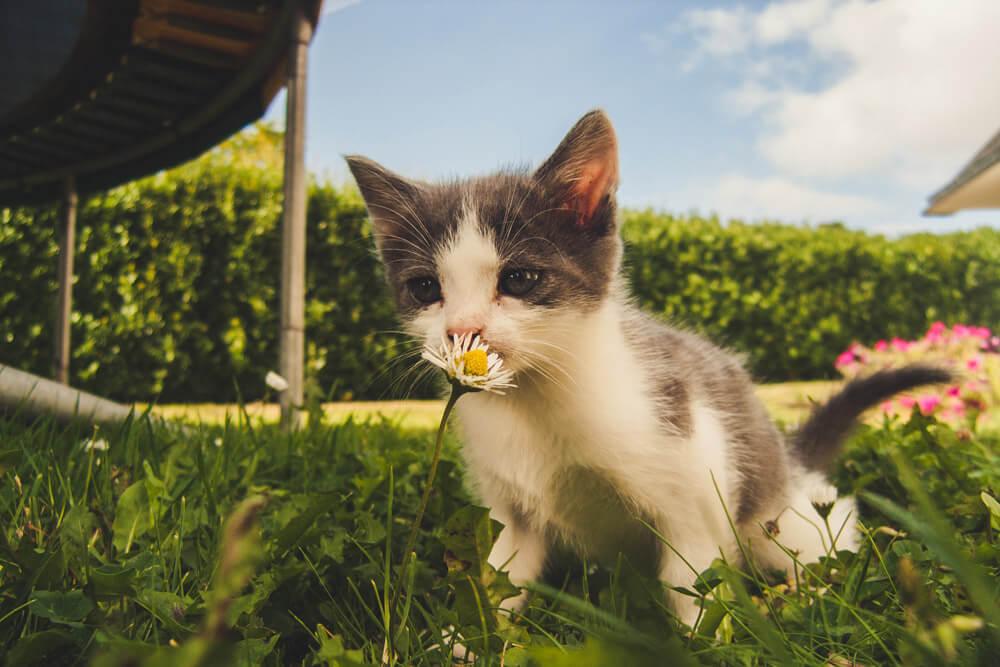 Chat allergique au pollen