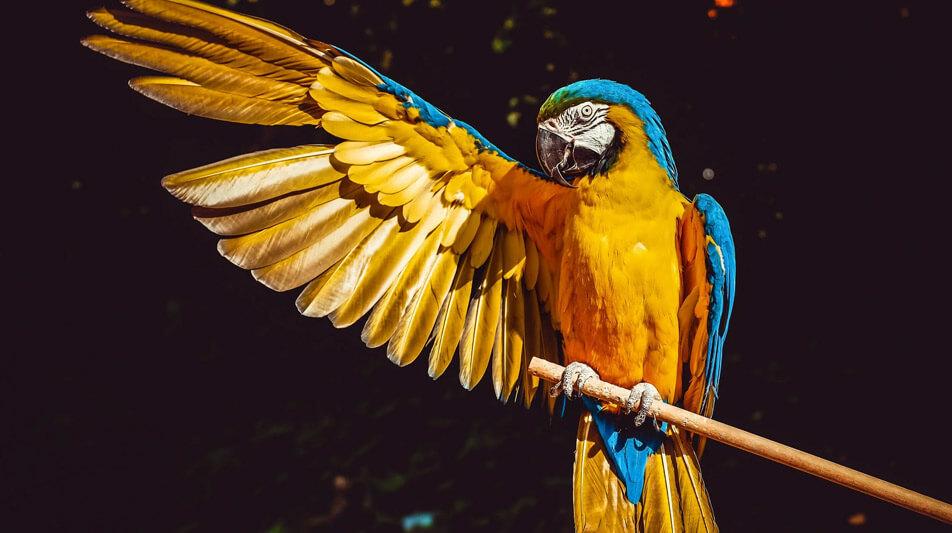 versele laga perroquet