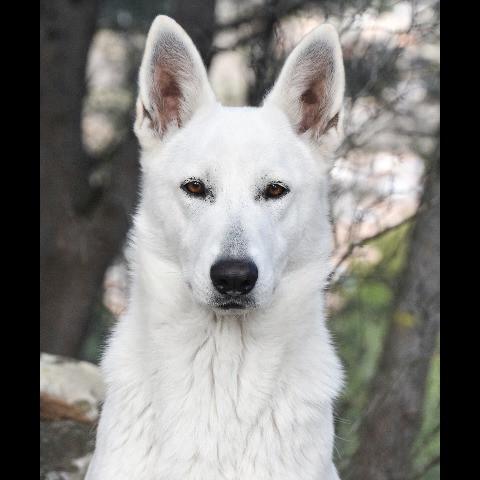 Pure White Wolf Laika de la Lobiera Blanca