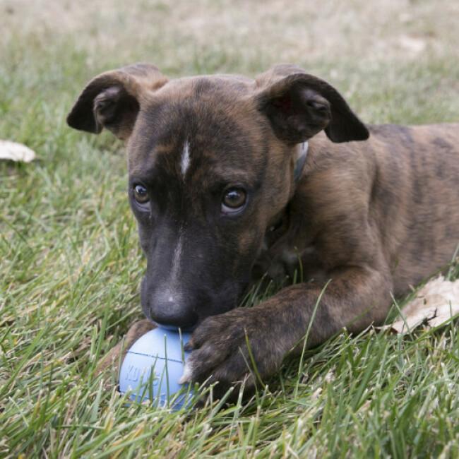 Balle résistante pour chiot KONG Puppy