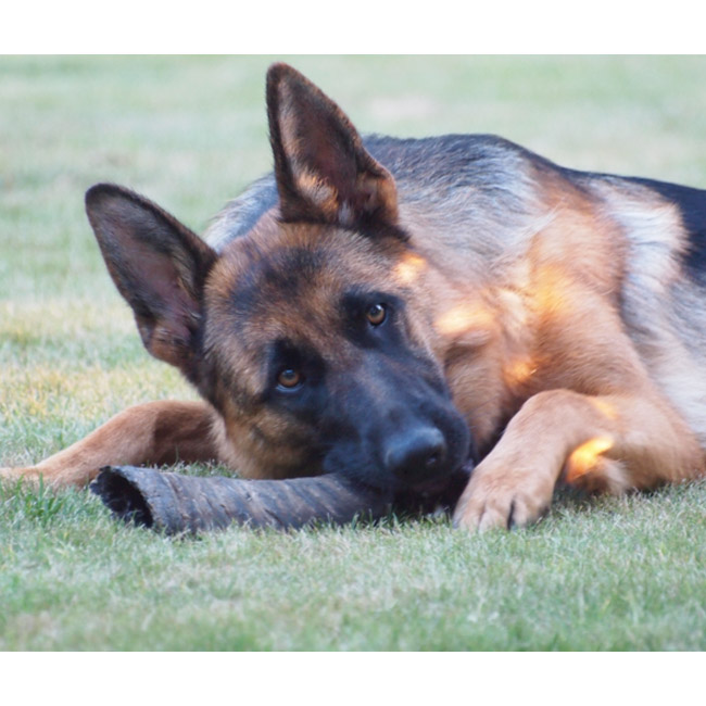 Corne de Buffle d'eau friandise pour chien