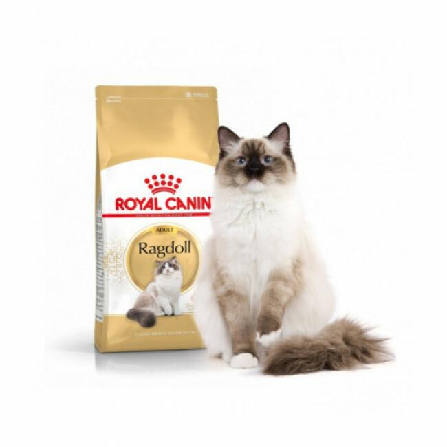 Croquettes Royal Canin pour chat Ragdoll