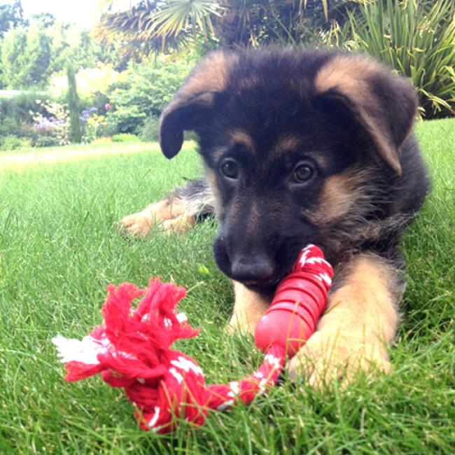 Dental KONG corde pour chien