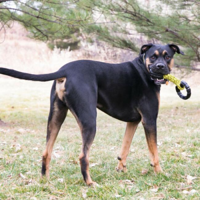 Jouet à tirer avec corde pour chien KONG Jaxx Triple Barel