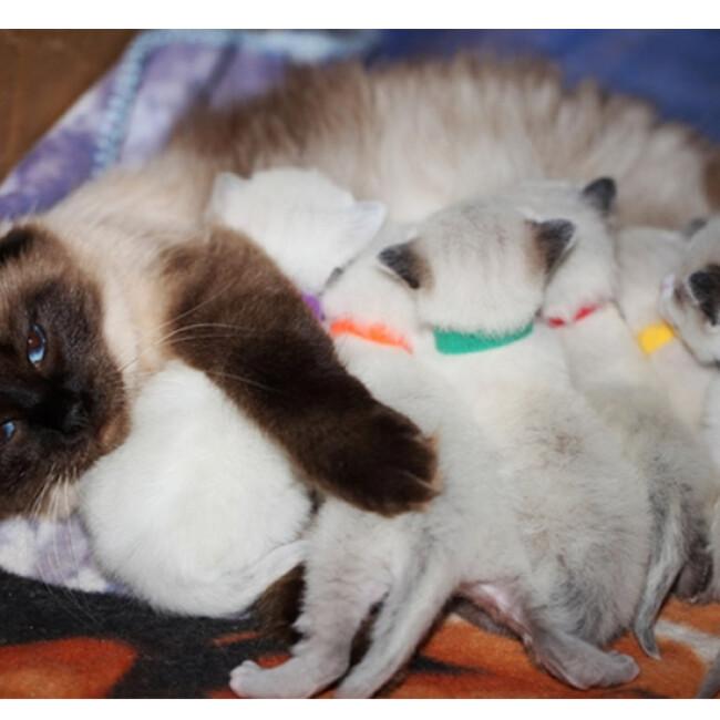 Pupcolors collier d'identification scratch pour chiot et chaton