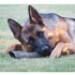 Image 3 - Corne de Buffle d'eau friandise pour chien