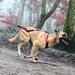 Image 13 - Harnais X-Back Kn'1 Powerful™ pour canicross, bikejoring et skijoring avec chien