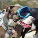 Image 5 - Lunette masque oculaire thérapeutique pour chien Rex-Specs K9