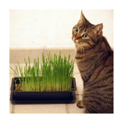 Herbe Cat-Gras pour chat